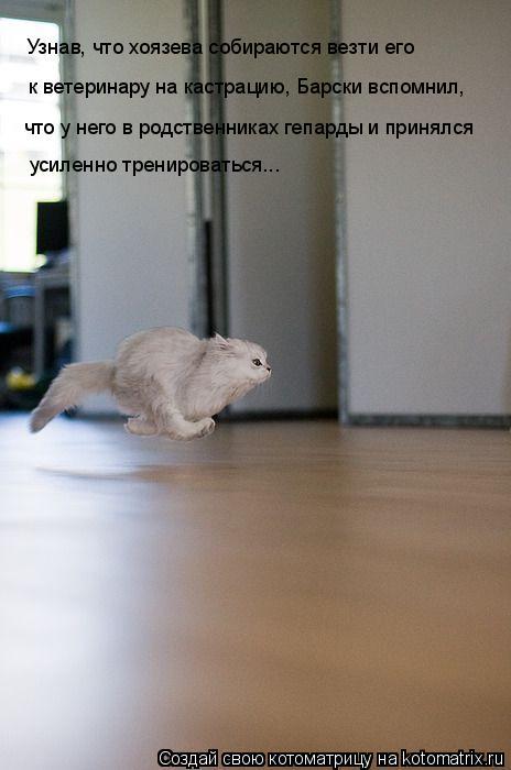 Котоматрица: Узнав, что хоязева собираются везти его  к ветеринару на кастрацию, Барски вспомнил, что у него в родственниках гепарды и принялся усиленно