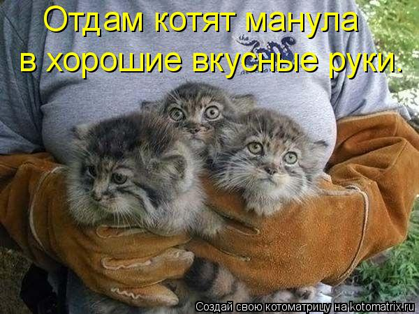 Котоматрица: Отдам котят манула  в хорошие вкусные руки.