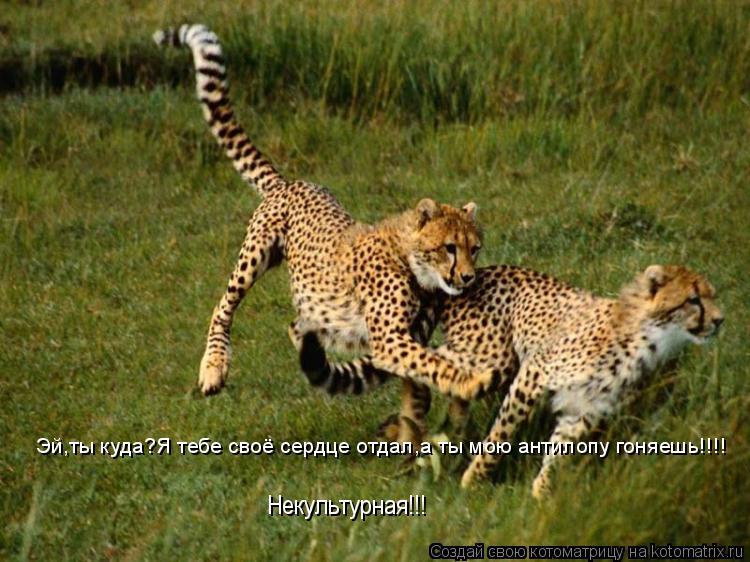 Котоматрица: Эй,ты куда?Я тебе своё сердце отдал,а ты мою антилопу гоняешь!!!! Некультурная!!!