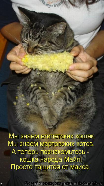 Котоматрица: Мы знаем египетских кошек. Мы знаем мартовских котов. А теперь познакомьтесь -  кошка народа Майя! Просто тащится от маиса.