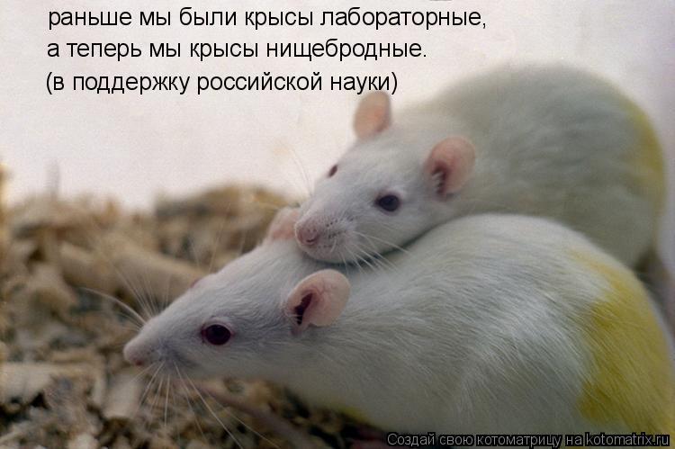 Котоматрица: раньше мы были крысы лабораторные, (в поддержку российской науки) а теперь мы крысы нищебродные.