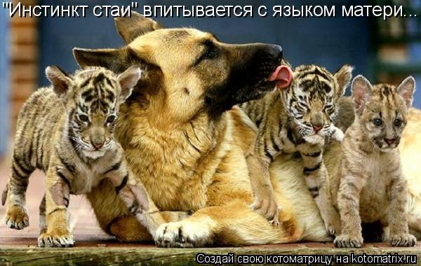 """Котоматрица: """"Инстинкт стаи"""" впитывается с языком матери..."""
