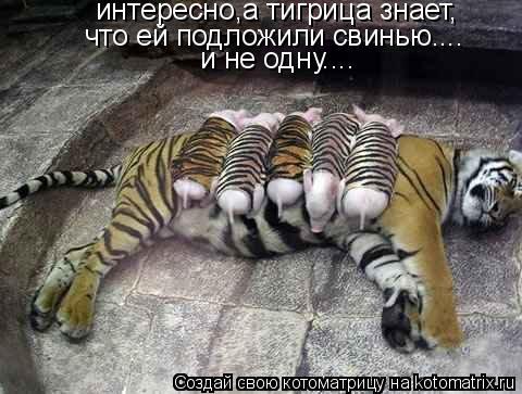 Котоматрица: интересно,а тигрица знает, что ей подложили свинью.... и не одну....