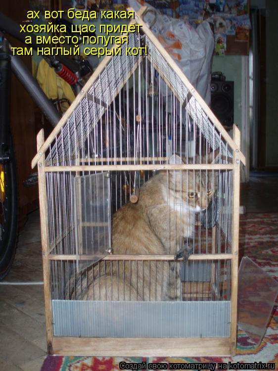 Котоматрица: ах вот беда какая ах вот беда какая хозяйка щас придёт а вместо попугая там наглый серый кот!