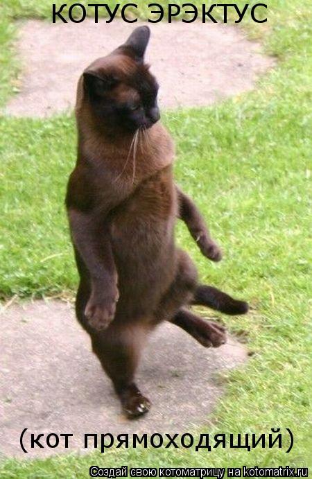 Котоматрица: КОТУС ЭРЭКТУС (кот прямоходящий)