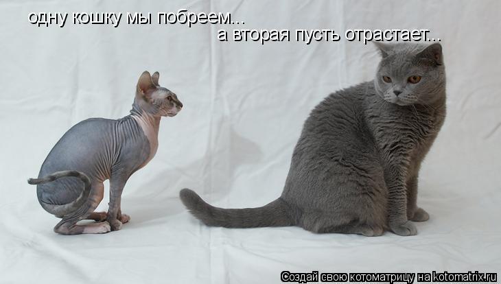 Котоматрица: одну кошку мы побреем... а вторая пусть отрастает...
