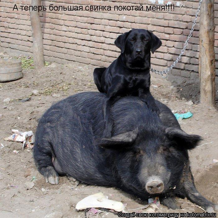 Котоматрица: А теперь большая свинка покотай меня!!!!