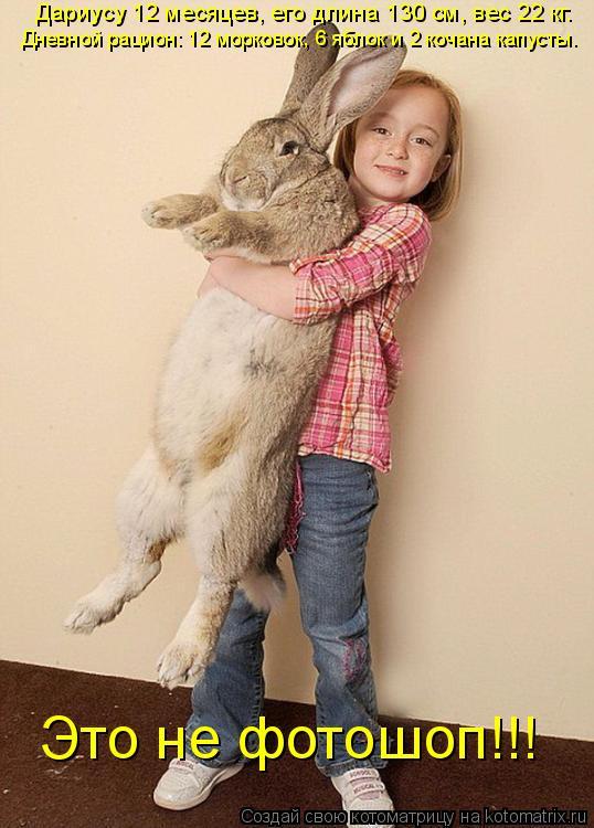 Котоматрица: Дариусу 12 месяцев, его длина 130 см, вес 22 кг.  Дневной рацион: 12 морковок, 6 яблок и 2 кочана капусты. Это не фотошоп!!!