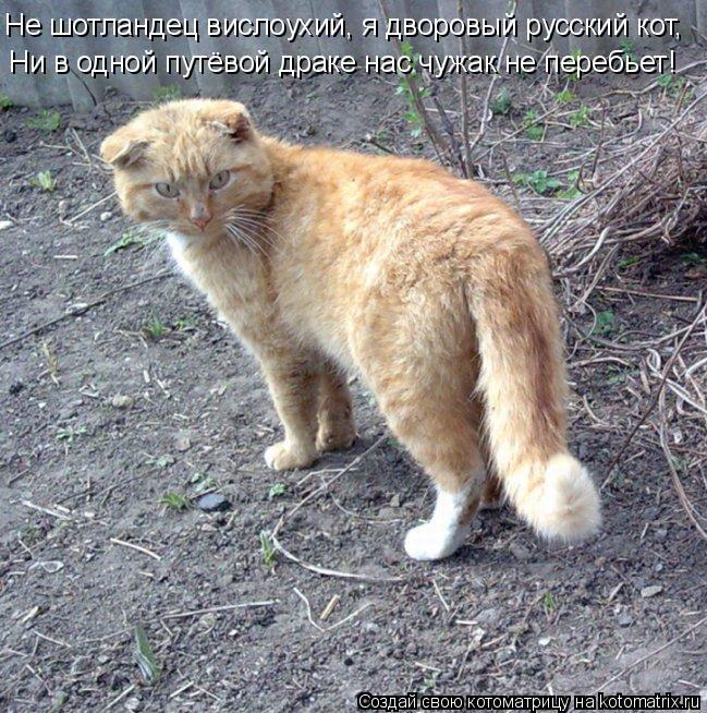 Котоматрица: Не шотландец вислоухий, я дворовый русский кот, Ни в одной путёвой драке нас чужак не перебьет!
