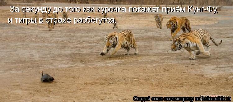 Котоматрица: За секунду до того как курочка покажет приём Кунг-Фу, и тигры в страхе разбегутся.