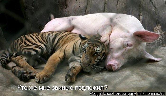 Котоматрица: Кто же мне свинью подложил?