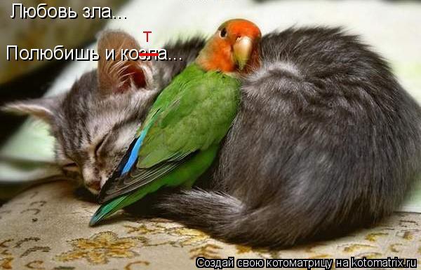 Котоматрица: Любовь зла... Полюбишь и козла... _ т