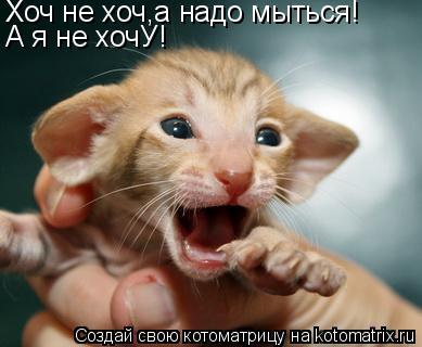 ориентальная кошка фото - фотография 9.