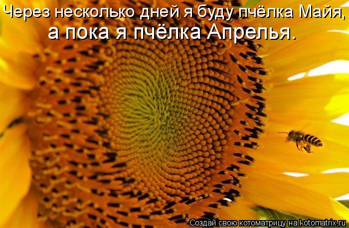 Котоматрица: Через несколько дней я буду пчёлка Майя,  а пока я пчёлка Апрелья.
