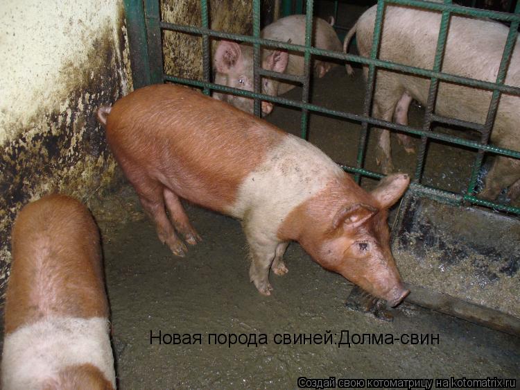 Котоматрица: Новая порода свиней:Долма-свин
