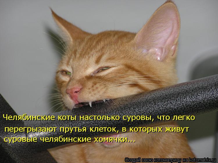Котоматрица: Челябинские коты настолько суровы, что легко перегрызают прутья клеток, в которых живут  суровые челябинские хомячки...