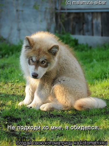 Котоматрица: (с) malamute-akbar Не подходи ко мне, я обиделся...