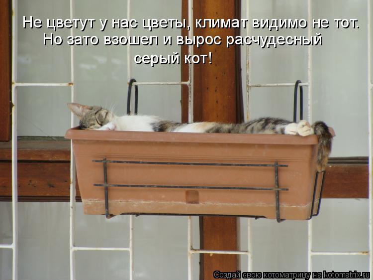 Котоматрица: Не цветут у нас цветы, климат видимо не тот. Но зато взошел и вырос расчудесный серый кот!