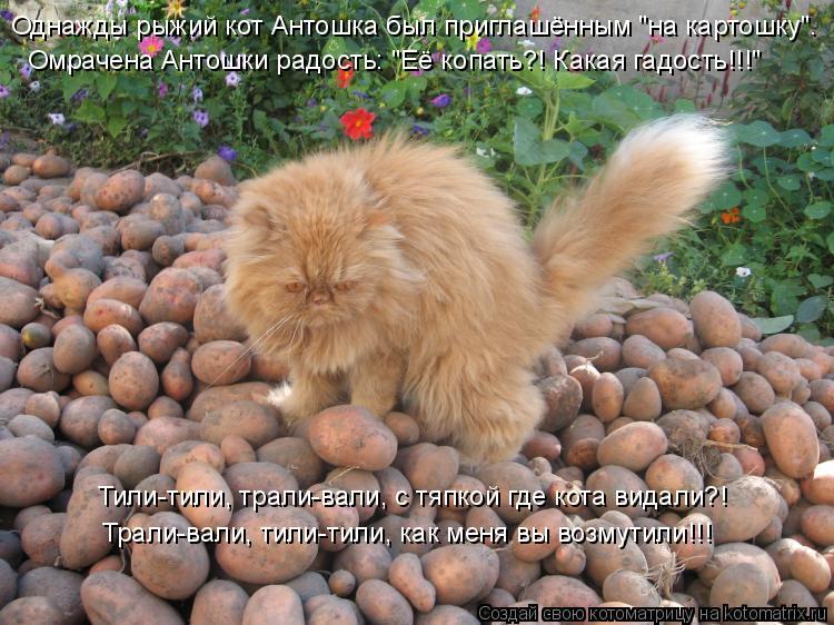 """Котоматрица: Однажды рыжий кот Антошка был приглашённым """"на картошку"""". Омрачена Антошки радость: """"Её копать?! Какая гадость!!!"""" Тили-тили, трали-вали, с тяпк"""