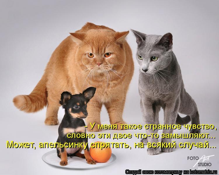 Котоматрица: - У меня такое странное чувство, словно эти двое что-то замышляют... Может, апельсинку спрятать, на всякий случай...