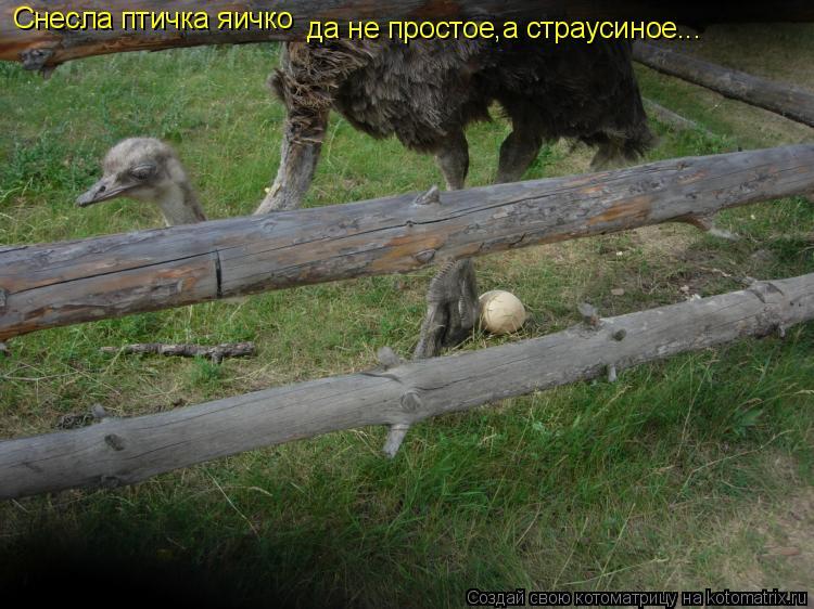 Котоматрица: Снесла птичка яичко да не простое,а страусиное...
