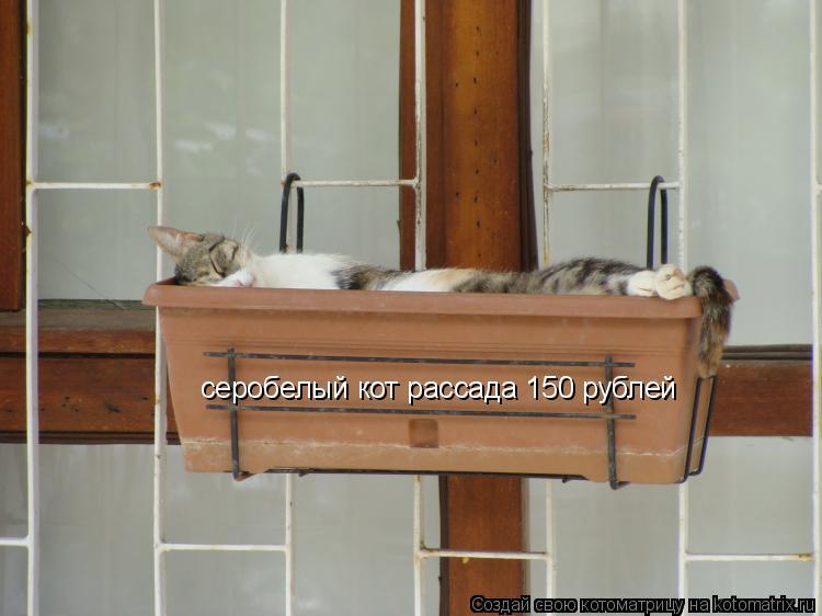 Котоматрица: серобелый кот рассада 150 рублей