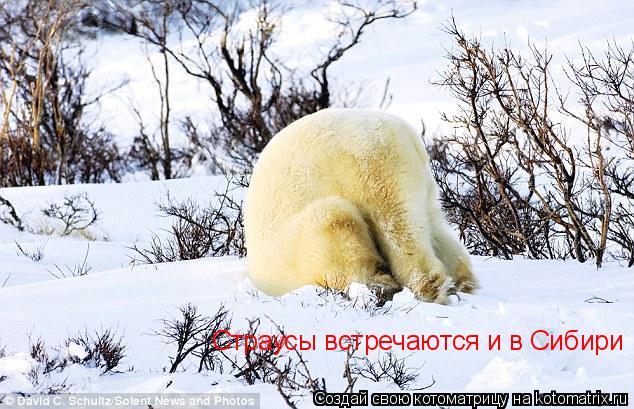 Котоматрица: Страусы встречаются и в Сибири