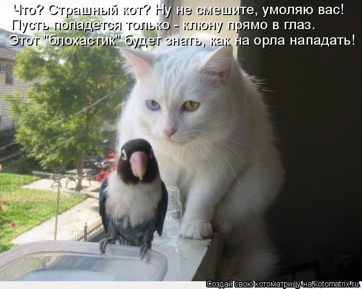 """Котоматрица: Что? Страшный кот? Ну не смешите, умоляю вас! Пусть попадется только - клюну прямо в глаз. Этот """"блохастик"""" будет знать, как на орла нападать!"""