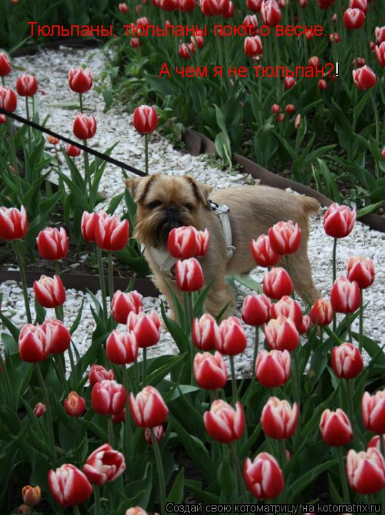 Котоматрица: Тюльпаны, тюльпаны поют о весне...  А чем я не тюльпан? !