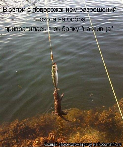 """Котоматрица: В связи с подорожанием разрешений охота на бобра привратилась в рыбалку """"на живца"""" привратилась в рыбалку """"на живца"""" охота на бобра"""