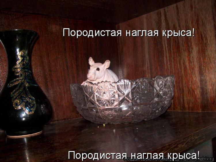 Котоматрица: Породистая наглая крыса! Породистая наглая крыса!