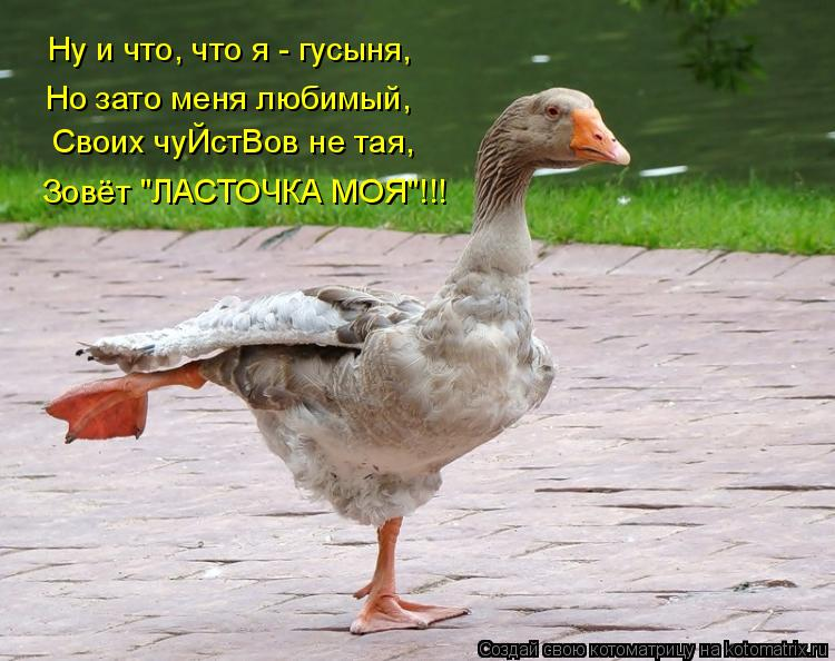 """Котоматрица: Ну и что, что я - гусыня,  Но зато меня любимый, Своих чуЙстВов не тая,  Зовёт """"ЛАСТОЧКА МОЯ""""!!!"""
