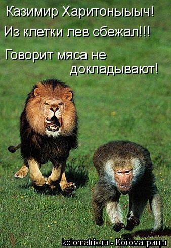 Котоматрица: Казимир Харитоныыыч! Из клетки лев сбежал!!! Говорит мяса не докладывают!
