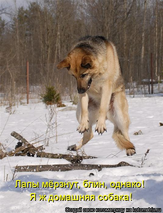 Котоматрица: Лапы мёрзнут, блин, однако!  Я ж домашняя собака!