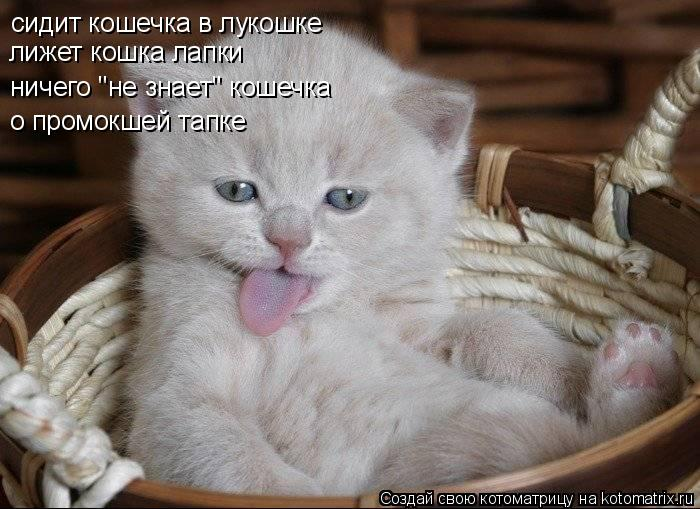 "Котоматрица: сидит кошечка в лукошке лижет кошка лапки ничего ""не знает"" кошечка о промокшей тапке"