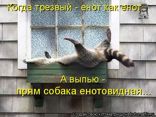 Котоматрица: Когда трезвый - енот как енот. А выпью -  прям собака енотовидная...