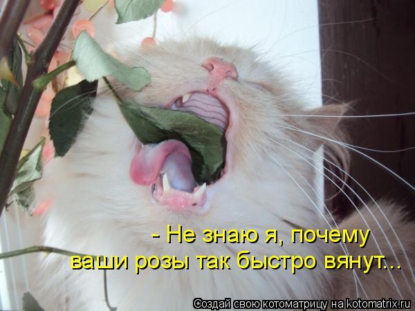 Котоматрица: - Не знаю я, почему  ваши розы так быстро вянут...
