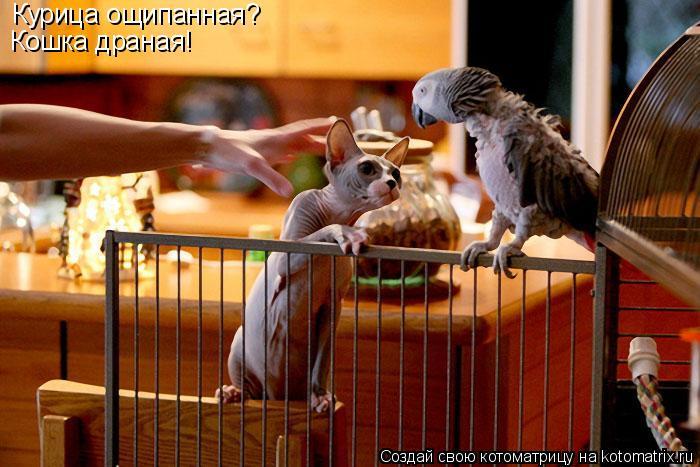 Котоматрица: Курица ощипанная?  Кошка драная!