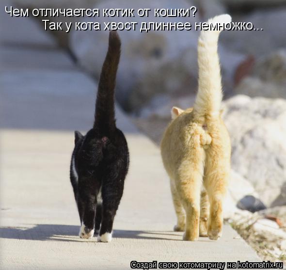 Чемотличается котик от кошки? Так у кота хвост длиннее немножко...