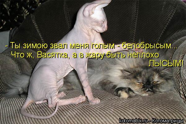 Котоматрица: - Ты зимою звал меня голым - белобрысым... Что ж, Васятка, а в жару быть неплохо  ЛЫСЫМ!