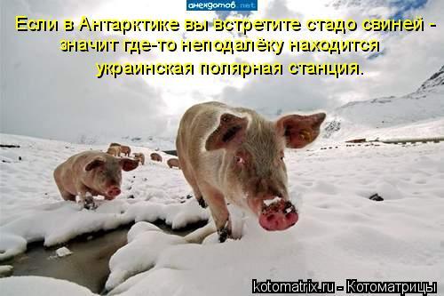 Если в Антарктике вы встретите стадо свиней - значит где-то неподалёк