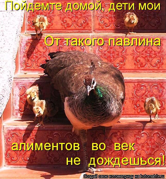 Котоматрица: Пойдемте домой, дети мои От такого павлина алиментов   во  век  не  дождешься!
