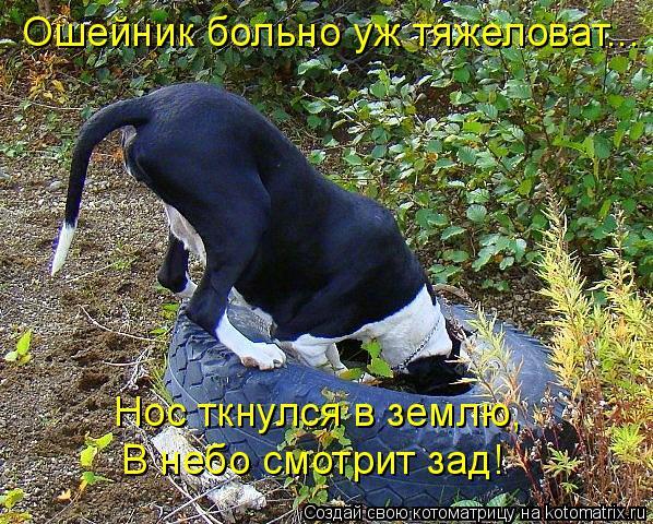 Котоматрица: Ошейник больно уж тяжеловат... Нос ткнулся в землю, В небо смотрит зад!