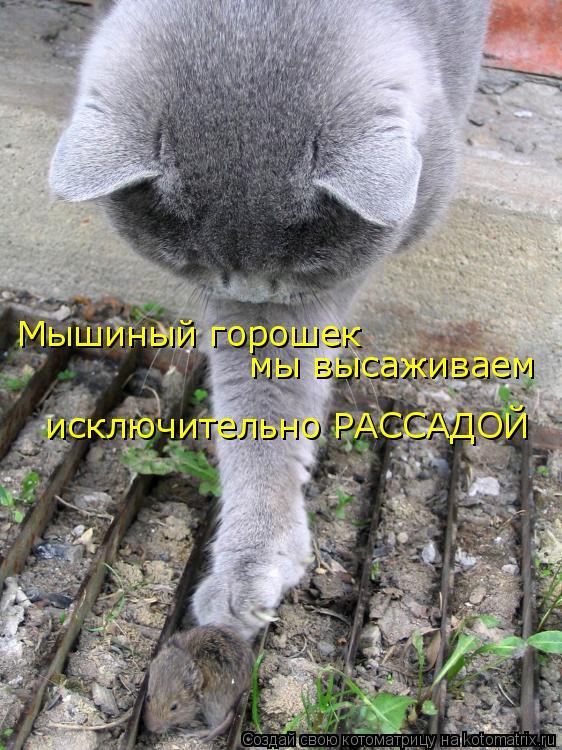 Котоматрица: Мышиный горошек   мы высаживаем  исключительно РАССАДОЙ