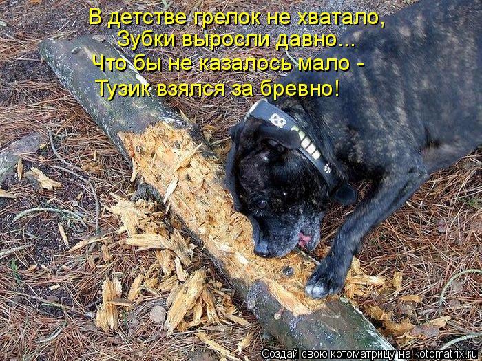 Котоматрица: В детстве грелок не хватало, Зубки выросли давно... Что бы не казалось мало - Тузик взялся за бревно!