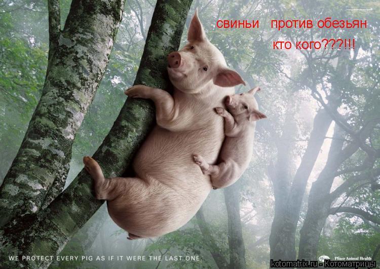Котоматрица: свиньи   против обезьян кто кого???!!!