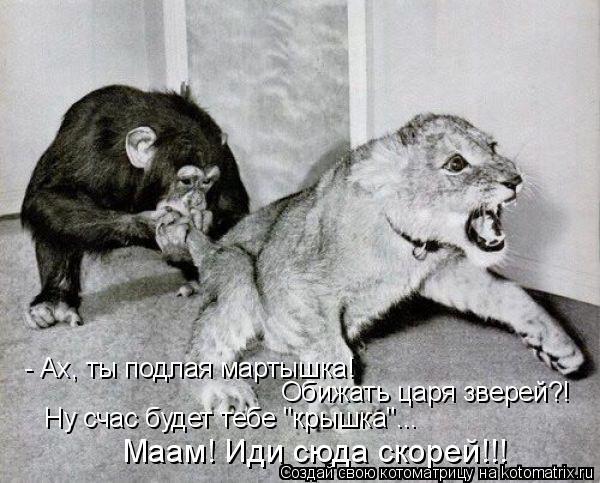 """Котоматрица: - Ах, ты подлая мартышка! Обижать царя зверей?! Ну счас будет тебе """"крышка""""... Маам! Иди сюда скорей!!!"""