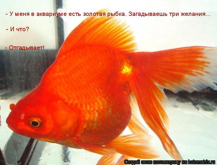 Котоматрица: - У меня в аквариуме есть золотая рыбка. Загадываешь три желания...  - И что? - Отгадывает!