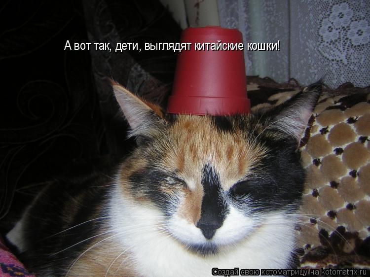 Котоматрица: А вот так, дети, выглядят китайские кошки!