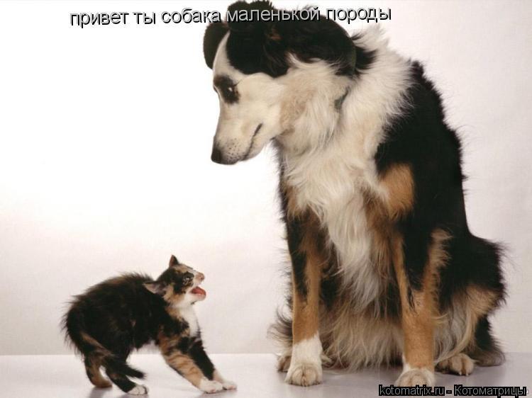 Котоматрица: привет ты собака маленькой породы
